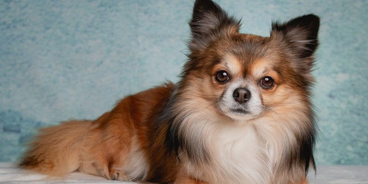 10 Best Dog Foods for Chihuahua in 2020
