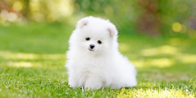 Most Popular Teacup Dog Breeds