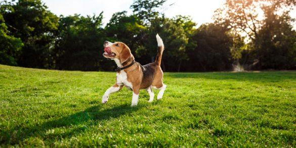 Most Popular Beagle Mixes