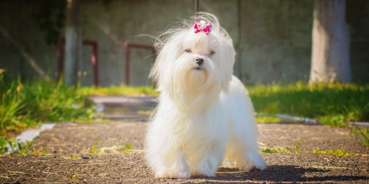 Top Toy Dog Breeds You'll Love